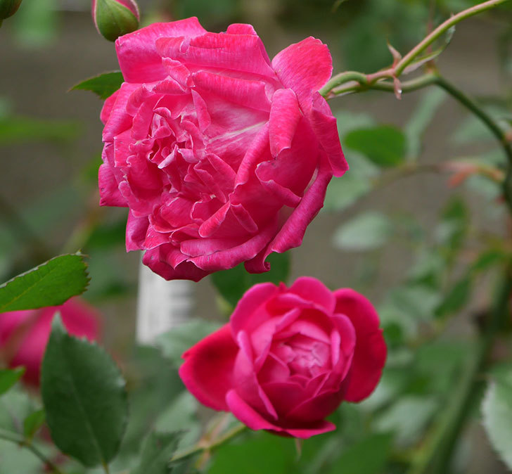 ルイフィリップ(木立バラ)に花がたくさん咲いた。2020年-2.jpg