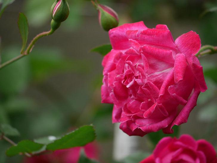 ルイフィリップ(木立バラ)に花がたくさん咲いた。2020年-3.jpg
