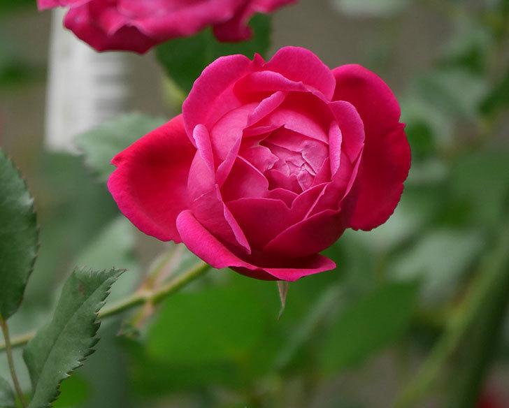 ルイフィリップ(木立バラ)に花がたくさん咲いた。2020年-4.jpg