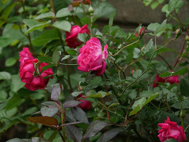 ルイフィリップ(木立バラ)に花がたくさん咲いた。2020年-5.jpg