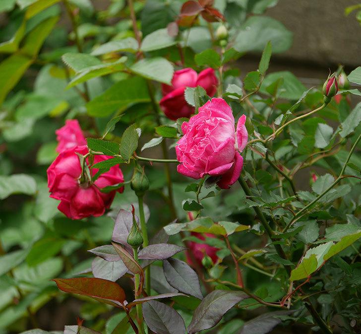ルイフィリップ(木立バラ)に花がたくさん咲いた。2020年-6.jpg