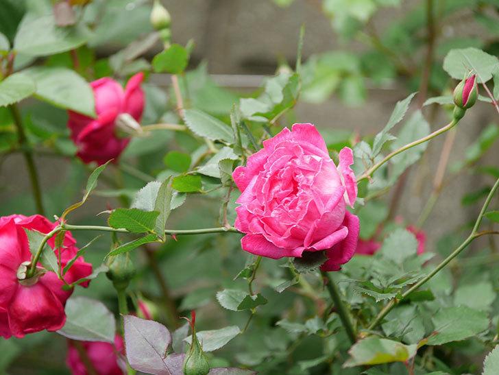 ルイフィリップ(木立バラ)に花がたくさん咲いた。2020年-7.jpg