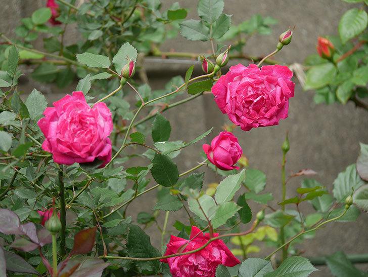 ルイフィリップ(木立バラ)に花がたくさん咲いた。2020年-8.jpg