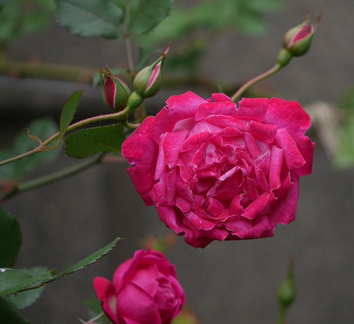 ルイフィリップ(木立バラ)に花がたくさん咲いた。2020年-9.jpg