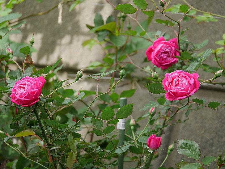 ルイフィリップ(木立バラ)に花が増えて来た。2020年-1.jpg