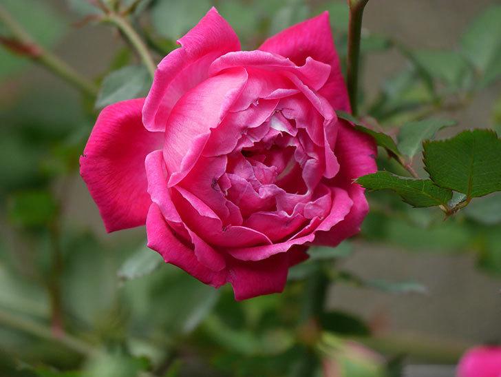 ルイフィリップ(木立バラ)に花が増えて来た。2020年-10.jpg