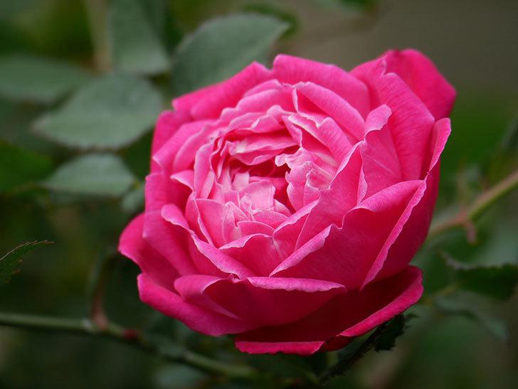 ルイフィリップ(木立バラ)に花が増えて来た。2020年-11.jpg