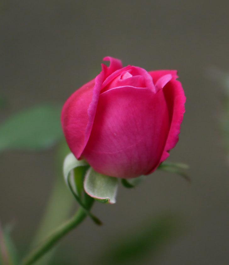 ルイフィリップ(木立バラ)に花が増えて来た。2020年-12.jpg