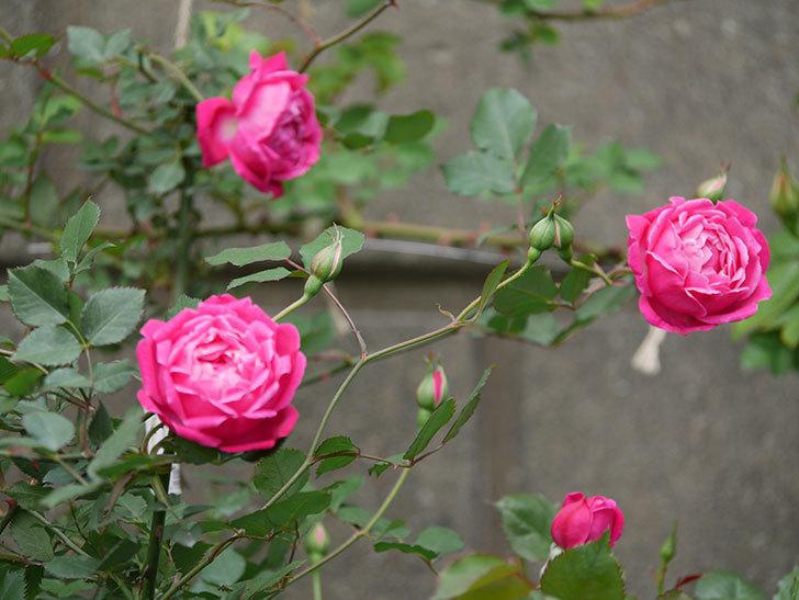 ルイフィリップ(木立バラ)に花が増えて来た。2020年-13.jpg