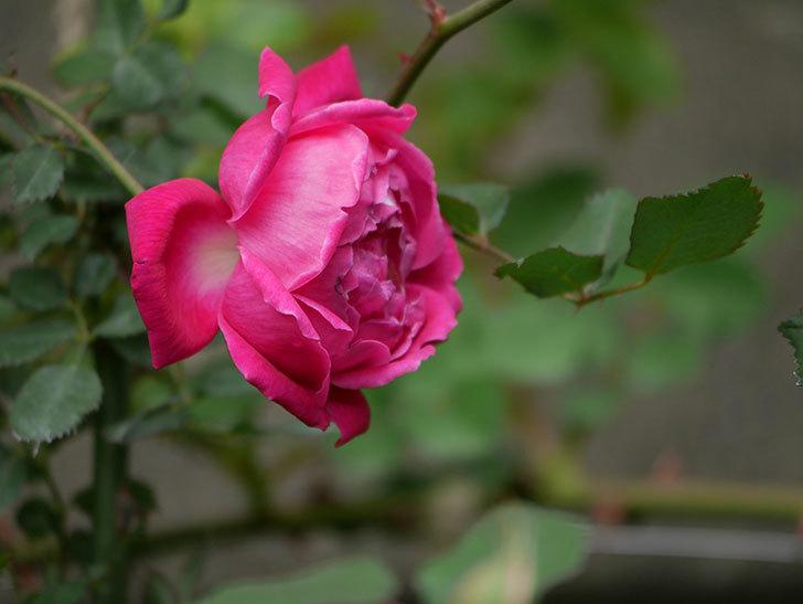 ルイフィリップ(木立バラ)に花が増えて来た。2020年-14.jpg