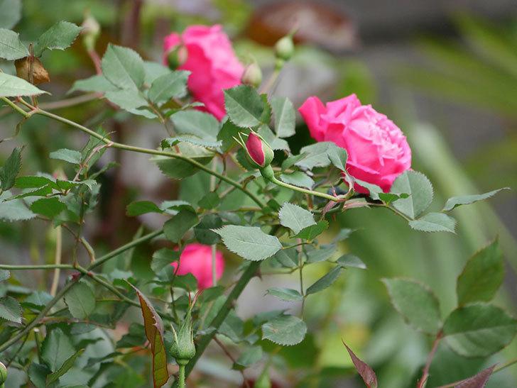 ルイフィリップ(木立バラ)に花が増えて来た。2020年-15.jpg