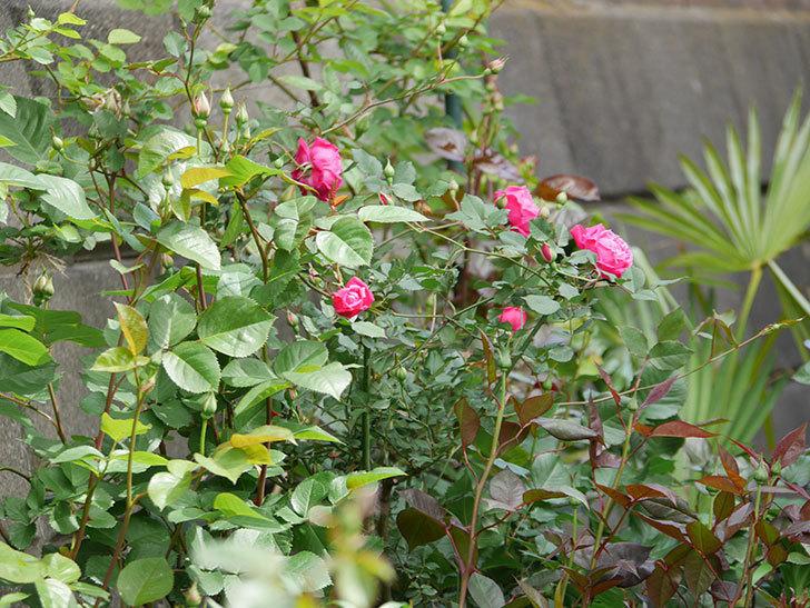 ルイフィリップ(木立バラ)に花が増えて来た。2020年-17.jpg