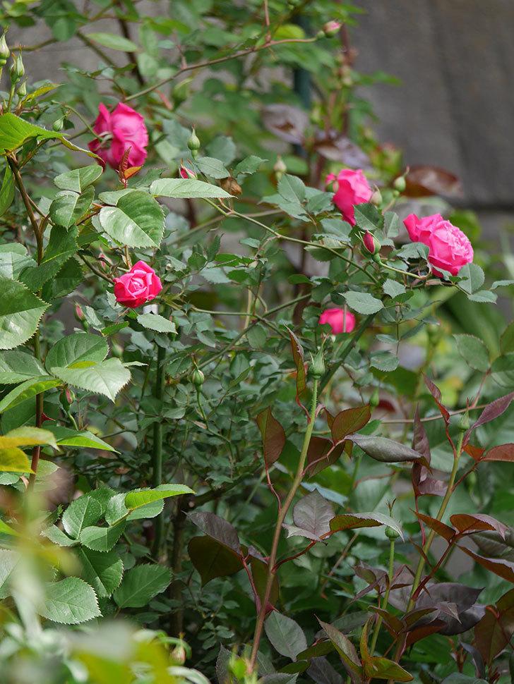 ルイフィリップ(木立バラ)に花が増えて来た。2020年-18.jpg