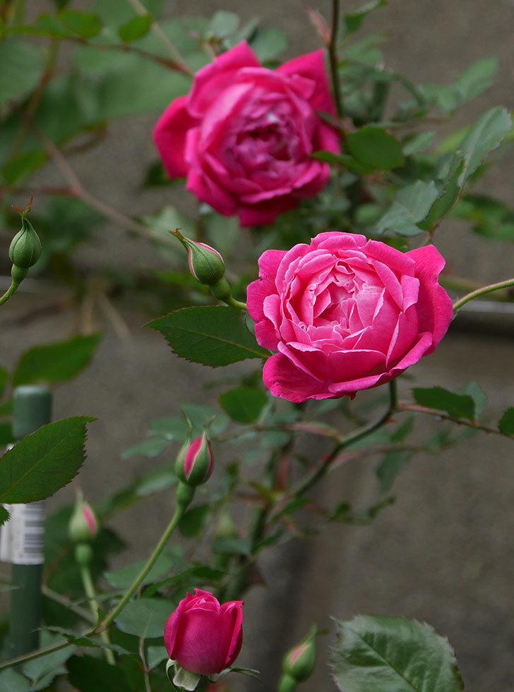 ルイフィリップ(木立バラ)に花が増えて来た。2020年-2.jpg