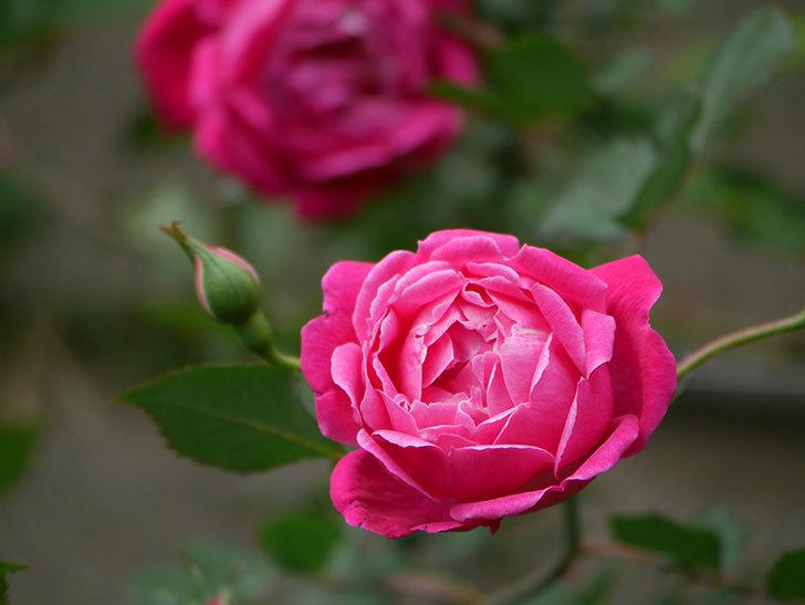 ルイフィリップ(木立バラ)に花が増えて来た。2020年-3.jpg