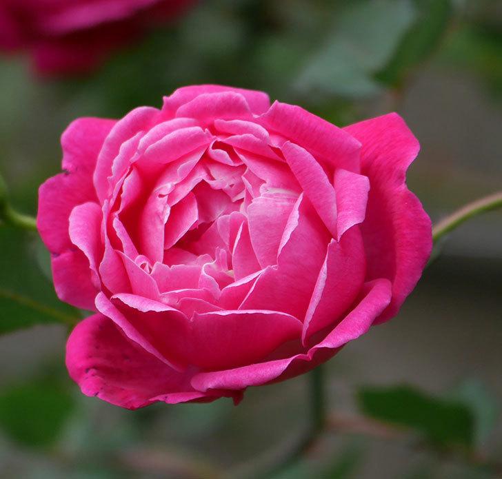ルイフィリップ(木立バラ)に花が増えて来た。2020年-4.jpg