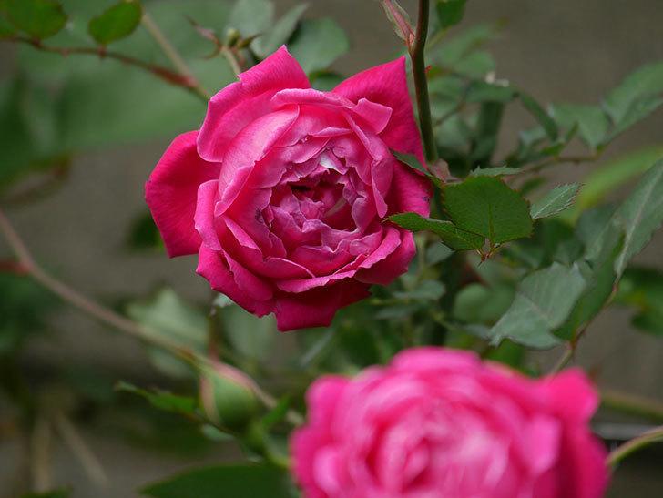 ルイフィリップ(木立バラ)に花が増えて来た。2020年-5.jpg