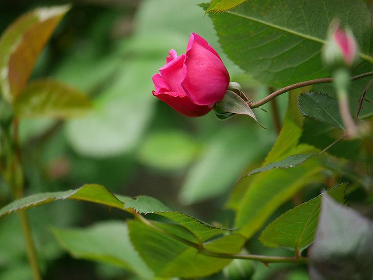 ルイフィリップ(木立バラ)に花が増えて来た。2020年-7.jpg