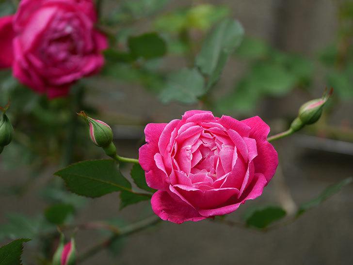 ルイフィリップ(木立バラ)に花が増えて来た。2020年-8.jpg