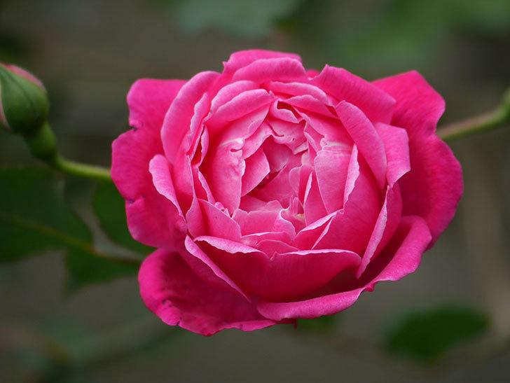 ルイフィリップ(木立バラ)に花が増えて来た。2020年-9.jpg