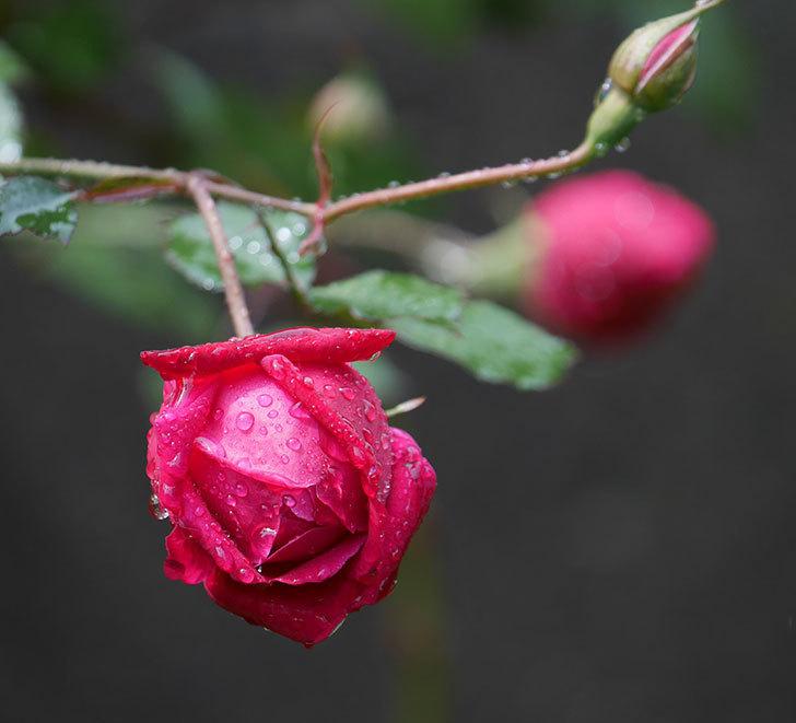 ルイフィリップ(木立バラ)の2個目の花が開いて来た。2020年-1.jpg