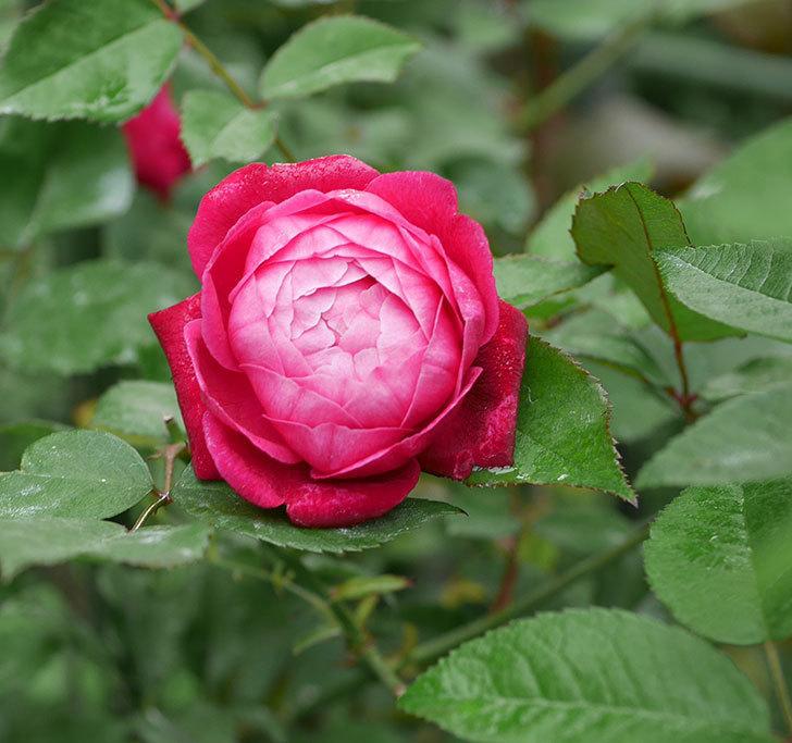 ルイフィリップ(木立バラ)の2番花がまた咲いた。2019年-1.jpg