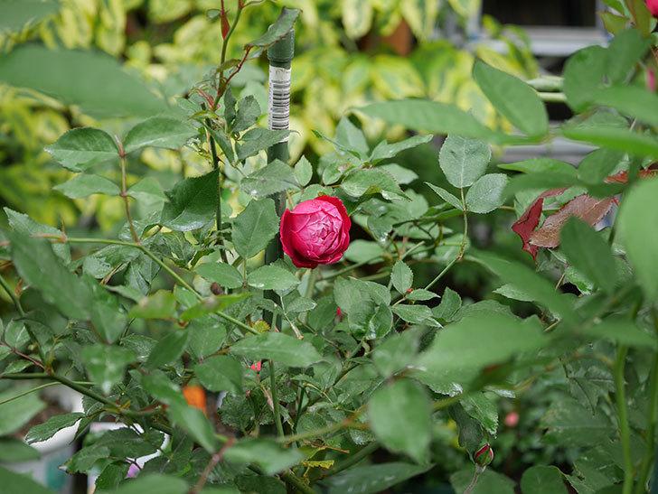 ルイフィリップ(木立バラ)の2番花がまた咲いた。2019年-5.jpg