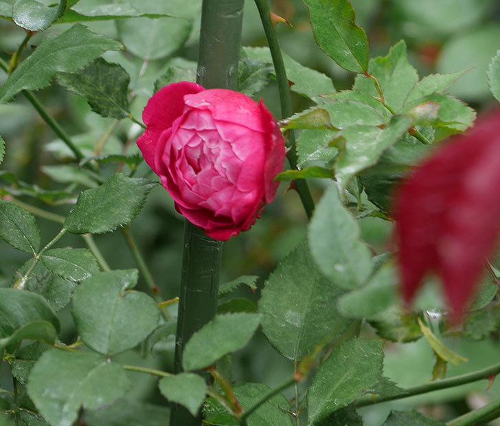 ルイフィリップ(木立バラ)の2番花がまた咲いた。2019年-6.jpg
