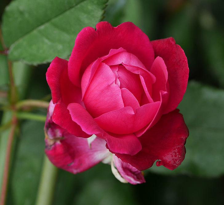 ルイフィリップ(木立バラ)の2番花がまた咲いた。2019年-8.jpg