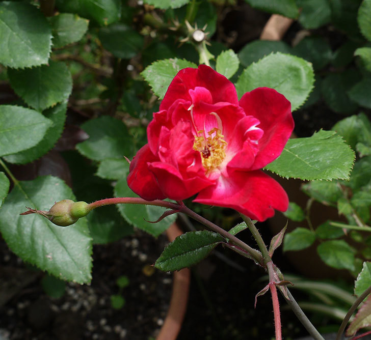 ルイフィリップ(木立バラ)の2番花が咲いた。2017年-1.jpg