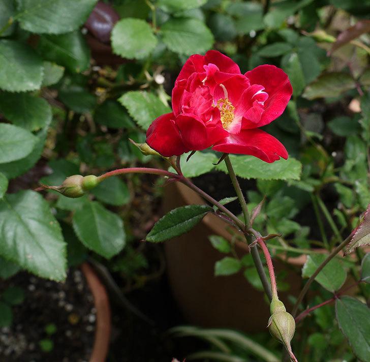 ルイフィリップ(木立バラ)の2番花が咲いた。2017年-2.jpg