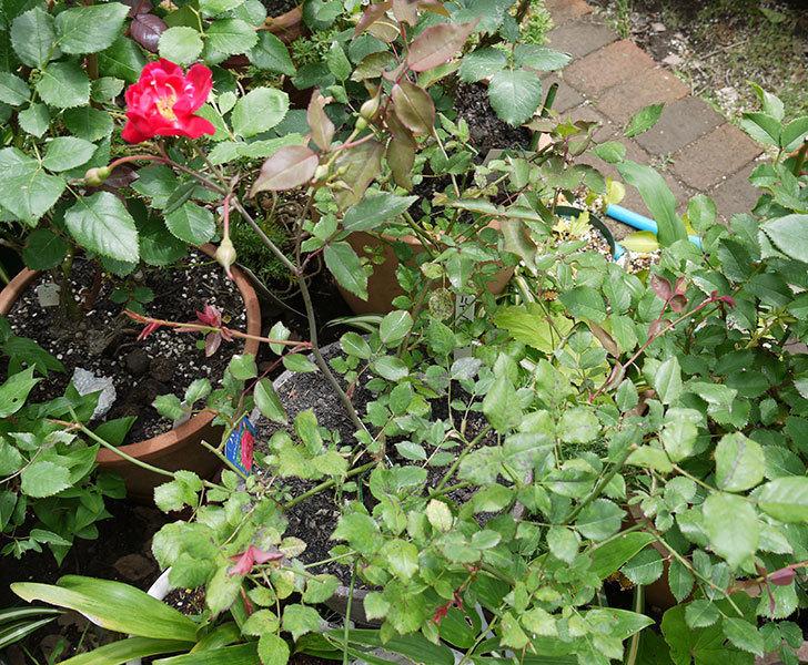 ルイフィリップ(木立バラ)の2番花が咲いた。2017年-3.jpg