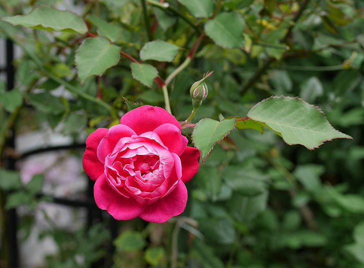 ルイフィリップ(木立バラ)の2番花が咲いた。2018年-1.jpg