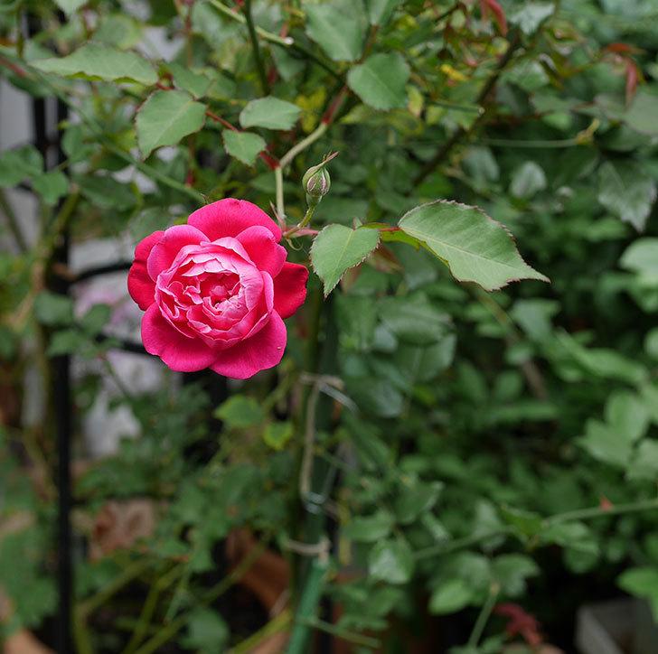 ルイフィリップ(木立バラ)の2番花が咲いた。2018年-2.jpg