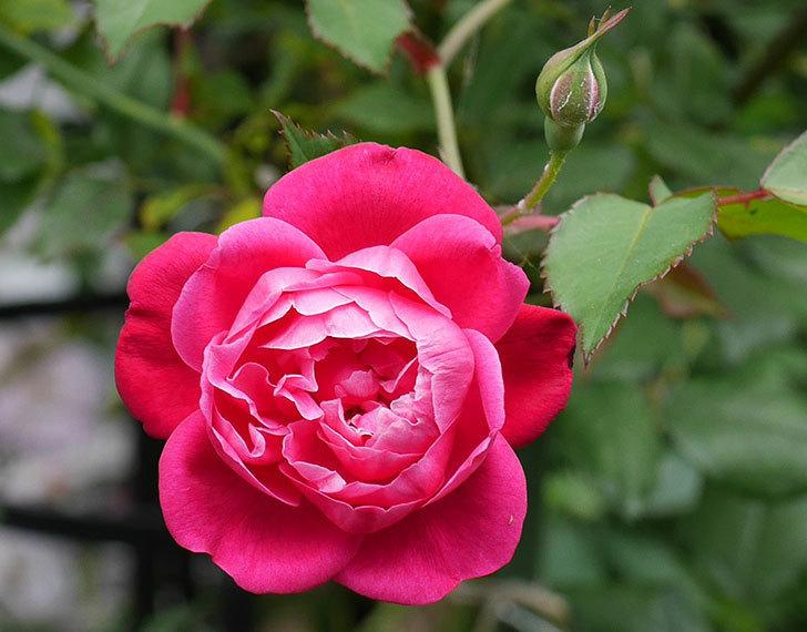 ルイフィリップ(木立バラ)の2番花が咲いた。2018年-3.jpg