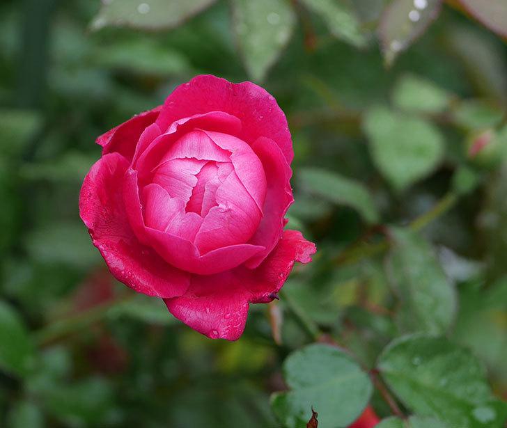 ルイフィリップ(木立バラ)の2番花が咲いた。2019年-1.jpg
