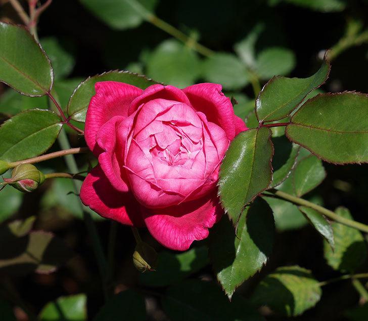 ルイフィリップ(木立バラ)の2番花が綺麗に咲いた。2017年-1.jpg