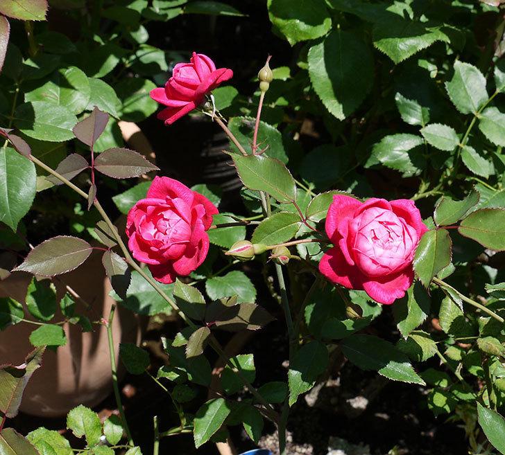 ルイフィリップ(木立バラ)の2番花が綺麗に咲いた。2017年-2.jpg