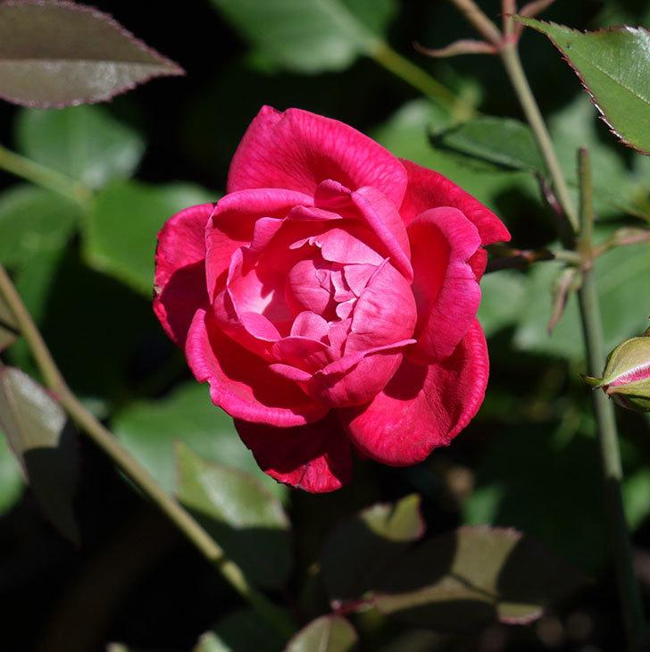 ルイフィリップ(木立バラ)の2番花が綺麗に咲いた。2017年-4.jpg