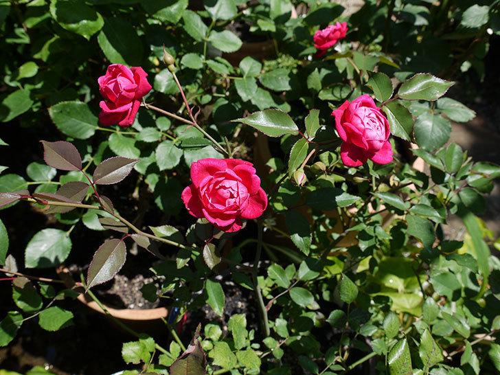 ルイフィリップ(木立バラ)の2番花が綺麗に咲いた。2017年-5.jpg