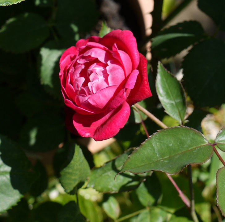 ルイフィリップ(木立バラ)の2番花が綺麗に咲いた。2017年-6.jpg