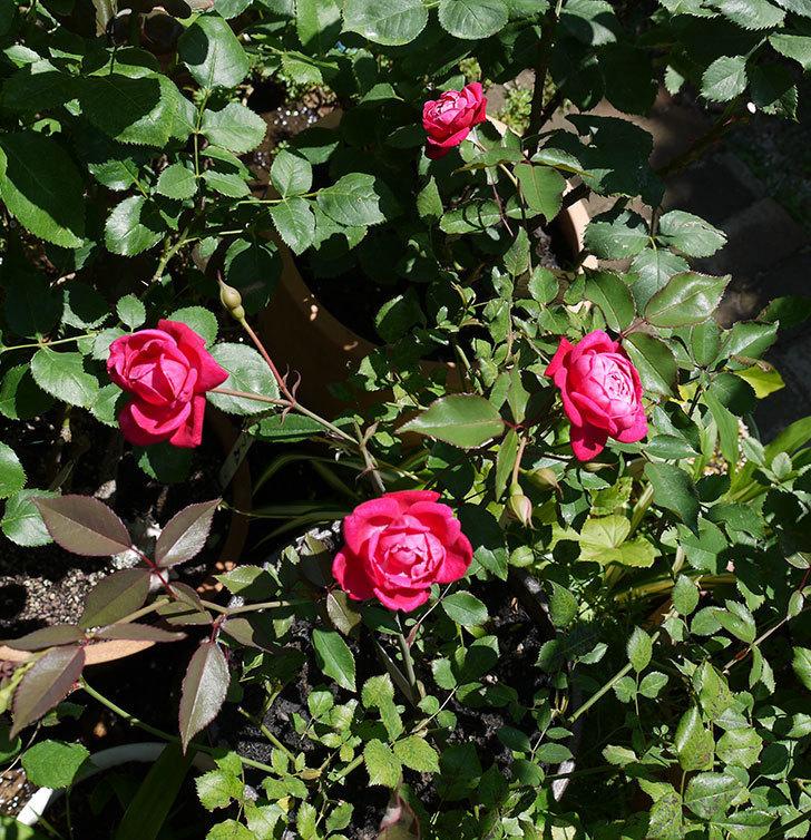 ルイフィリップ(木立バラ)の2番花が綺麗に咲いた。2017年-8.jpg