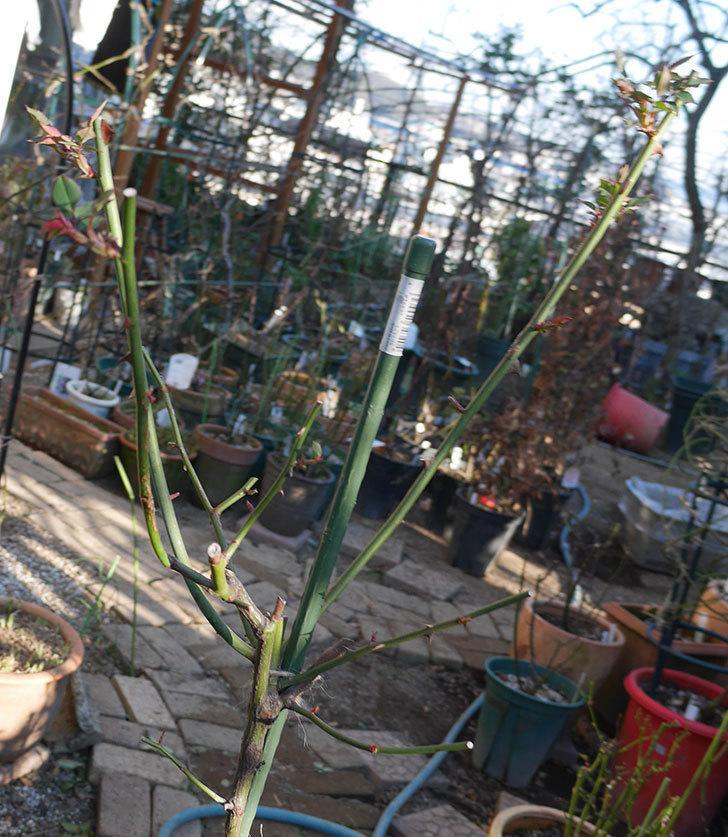 ルイフィリップ(木立バラ)の冬剪定をした。2020年-1.jpg