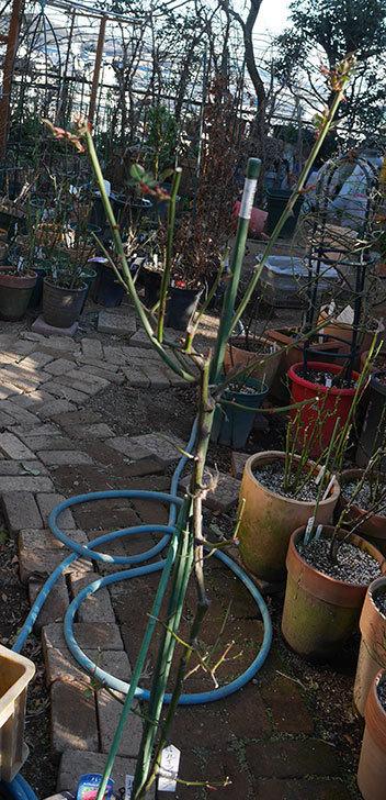 ルイフィリップ(木立バラ)の冬剪定をした。2020年-4.jpg