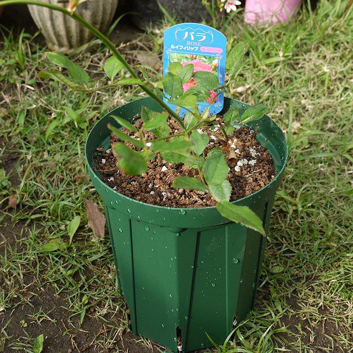 ルイフィリップ(木立バラ)の新苗を5号ロングスリット鉢に植えた。2016年-1.jpg