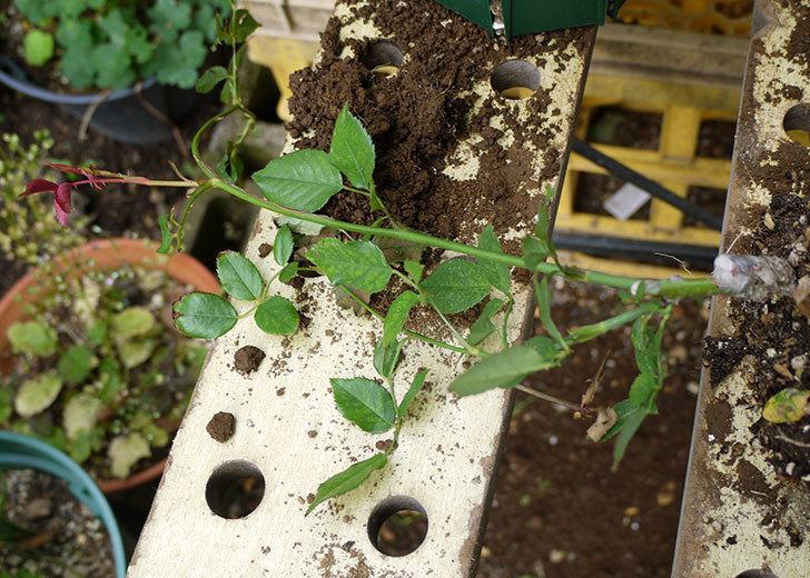 ルイフィリップ(木立バラ)の新苗を5号ロングスリット鉢に植えた。2016年-2.jpg
