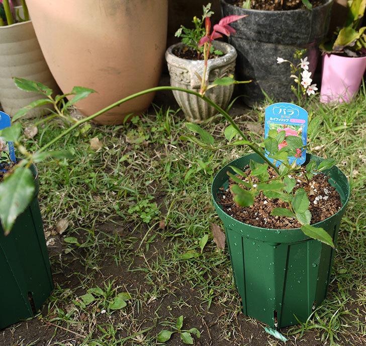 ルイフィリップ(木立バラ)の新苗を5号ロングスリット鉢に植えた。2016年-5.jpg