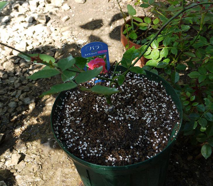 ルイフィリップ(木立バラ)の新苗を7号ロングスリット鉢に鉢増しした。2016年-1.jpg