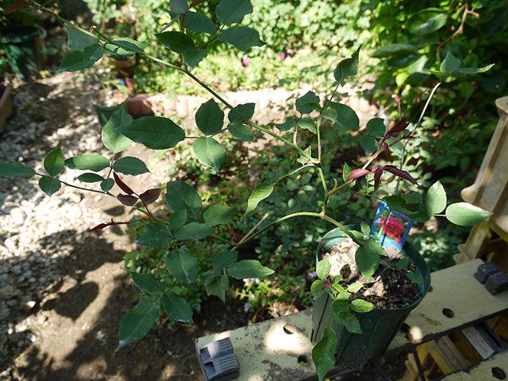 ルイフィリップ(木立バラ)の新苗を7号ロングスリット鉢に鉢増しした。2016年-2.jpg