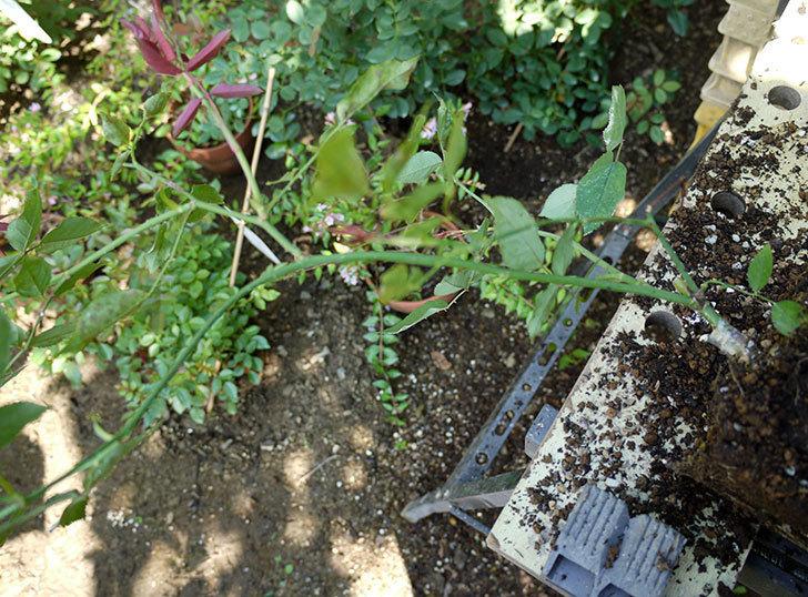 ルイフィリップ(木立バラ)の新苗を7号ロングスリット鉢に鉢増しした。2016年-3.jpg